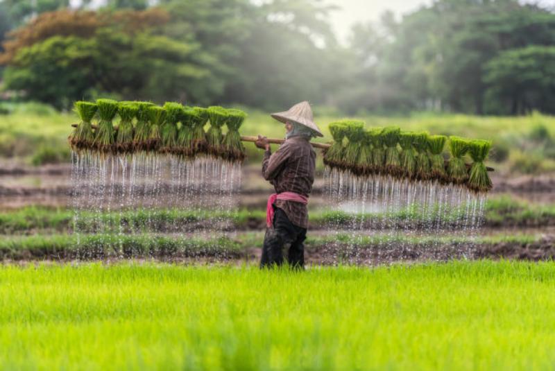 Ученые Китая начнут выращивать рис в морской воде