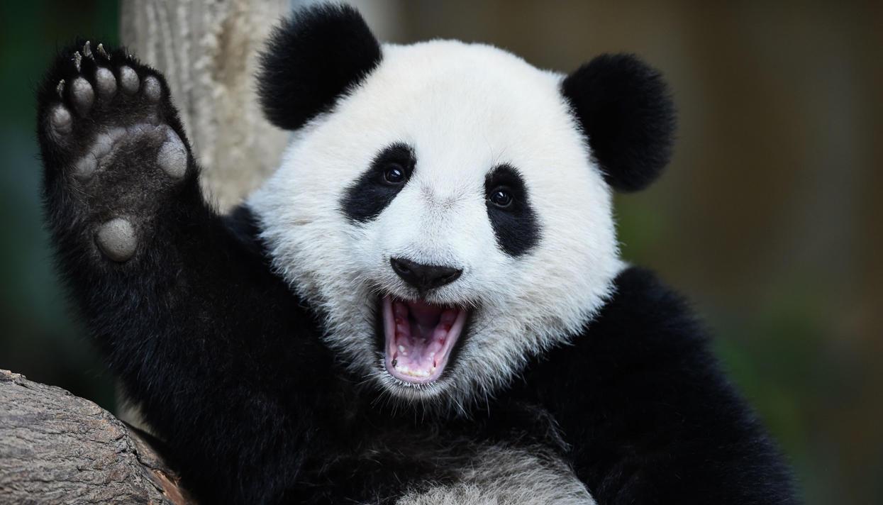 Почти все панды в зоопарках мира арендованы у Китая